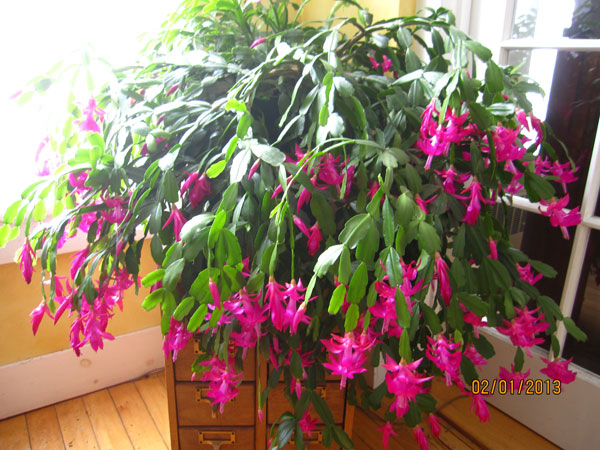 christmas cactus next to a window