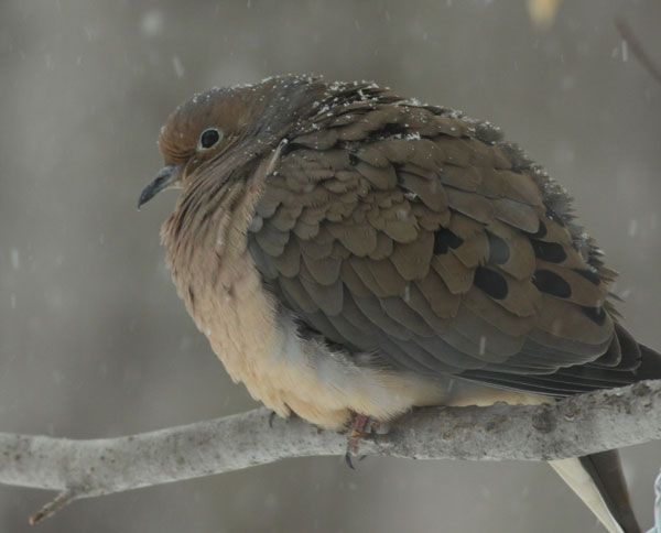 A mourning dove waits the storm out. (Photo by Jim Knox/Wilton)