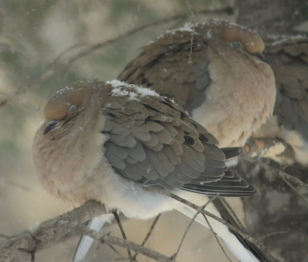 Two Mourning Doves sleep and wait, as the snow builds ( check their backs ) sticking ever so near to keep warm.....Jim.