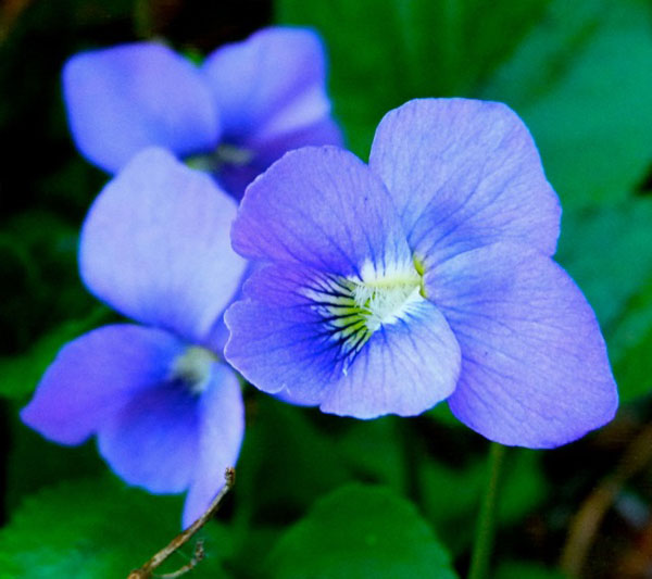 Look closely at the small things nature gives us, like these tiny purple violets.  (© jane naliboff photo)