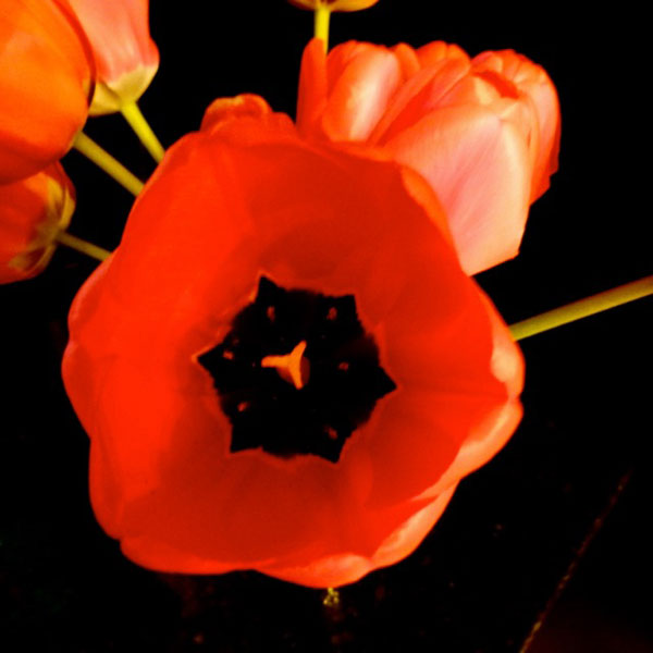 The ins and outs of tulips.  (© jane naliboff photo)