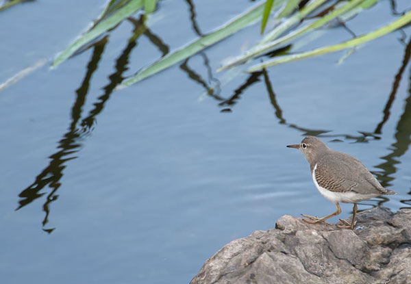 spotted sandpiper looking for a snack at the beaver dam behind the Wilton Public Safety Building. (Tony Nazar/Wilton)