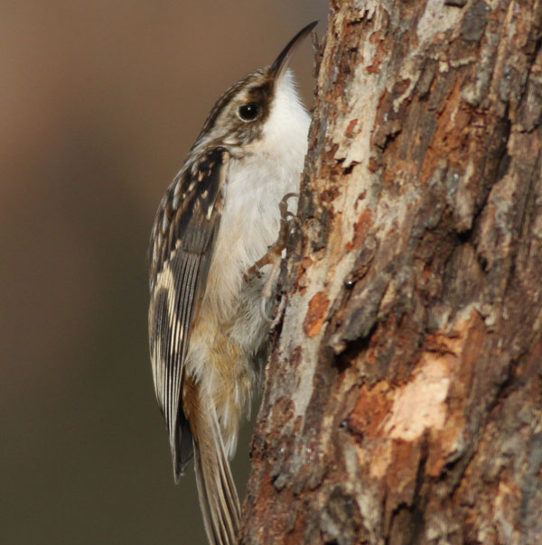 Little Brown Creeper; This inconspicuous ( See how he blend's in ) bird is most often detected by it's soft, lisping call as it works it's way up a tree trunk, probing the bark for insects. (Jim Knox/Wilton)
