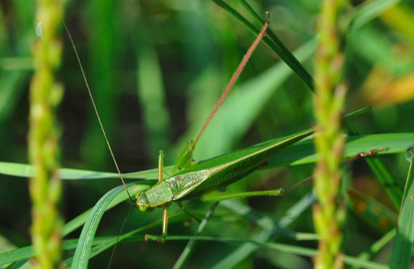 well hidden Katydid in grass. (Tom Oliver/Wilton)
