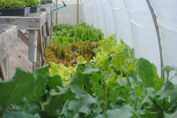The greenhouse at Pucherbrush Farm in New Sharon is bursting with seedlings available for sale.