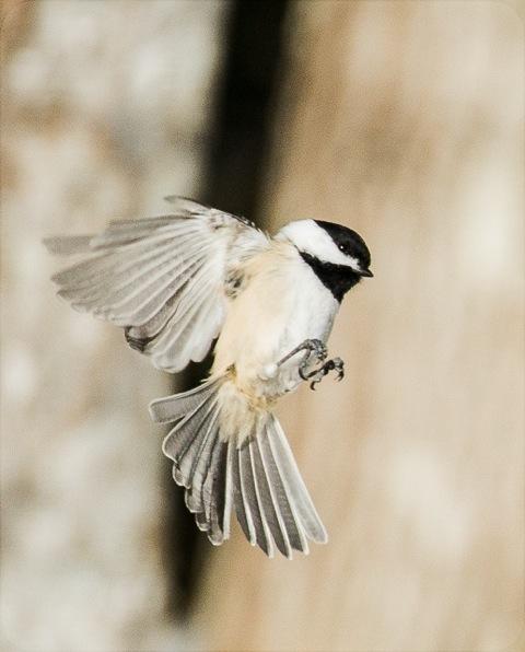 Chickadee landing - photo#7