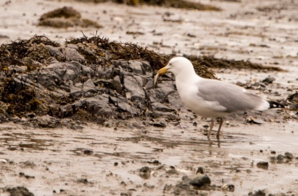 A herring gull found an empty clam shell in an inlet on North Haven Island.  (© Jane Naliboff/Chesterville)