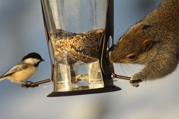 A Chickadee and a Gray Squirrel share a feeder. Who else would share with a squirrel? (Jim Knox/Wilton)