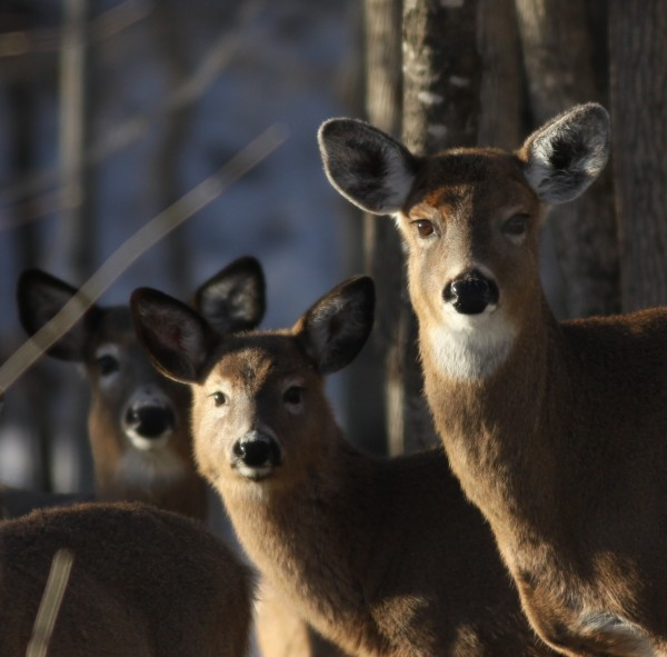 Spring brings movement again for Deer. They have been seen near the Franklin Memorial Hospital, Farmington..in the middle of the day. (Jim Knox/Wilton)
