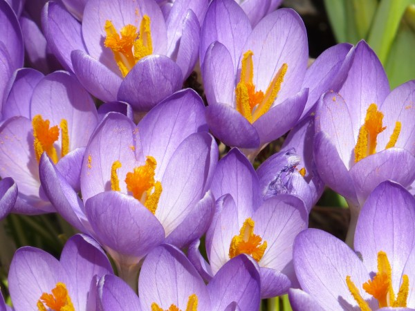 Search beyond the piles of snow along the South side of a building and there you will see some spring beauties of all colors. Particularly, Easter purple! (Jane Knox/Belgrade Lakes)