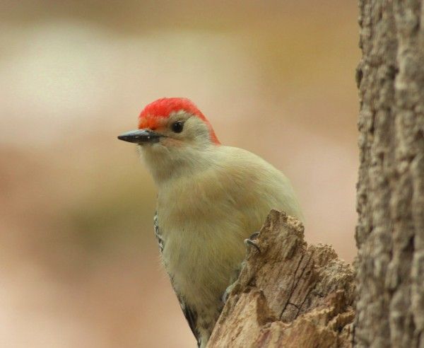 I'm looking for Spring, Have you seen spring yet?..A red-bellied woodpecker in the Wilton area. Jim Knox/Wilton)
