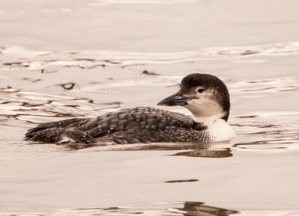 Adult loon in Penobscot Bay with the very beginnings of summer plumage. It will be a while before it's ready to come inland.  (© Jane Naliboff/Chesterville)