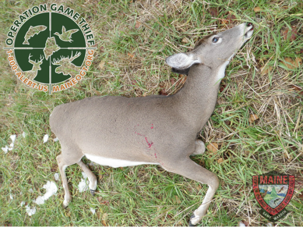 A pregnant doe was illegally shot and killed an illegally killed deer provided by the Maine Warden Service